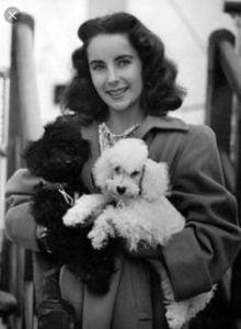 Elizabeth Taylor Poodle Dog